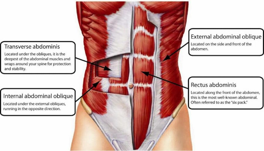 Diagram Of Female Abdominal Muscles